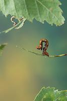 Birken-Gürtelpuppenspanner, Weißer Ringfleckspanner, Raupe frisst an Birke, Spannerraupe, Cyclophora albipunctata, Cosymbia coreana, birch mocha, caterpillar, Spanner, Geometridae, looper, loopers, geometer moths, geometer moth