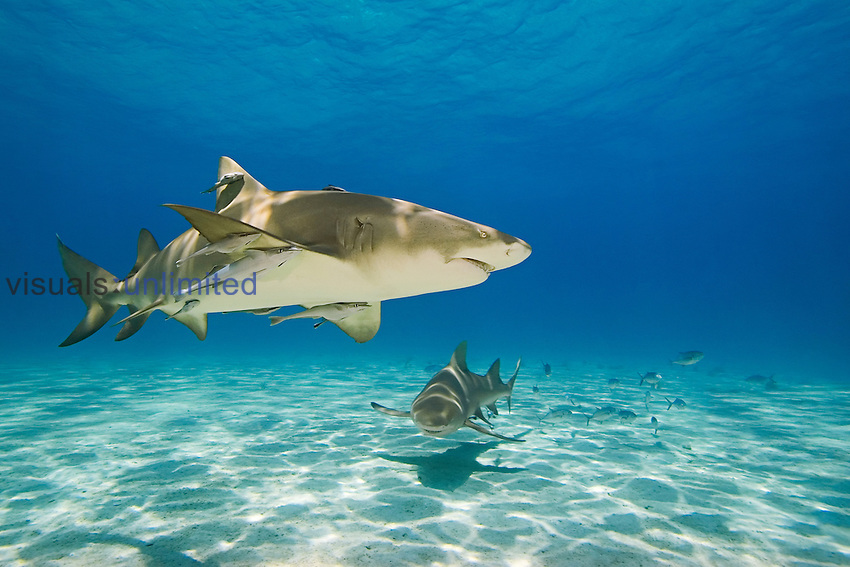 Lemon Shark (Negaprion brevirostris) with commensal Sharksuckers or Remoras (Echeneis naucrates) swimming along the sandy ocean floor, Bahamas, Atlantic Ocean.