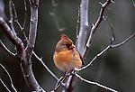 Northern cardinal (Cardinalis cardinalis), Texas