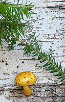 Yellow Pholiota Mushrooms (Pholiota flammans) grow on the side of a Birch tree trunk, near Big Island Lake in the Hiawatha National Forest, Schoolcraft County, Michigan