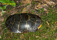 1R13-9040  Painted Turtle - Chrysemys picta,  © Brian Kuhn/Dwight Kuhn Photography