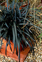 Ophiopogon planiscapus 'Nigrescens' (black Mondo grass)  ornamental grass with dark leaves in container pot planter, aka Ophiopogon planiscapus nigrens