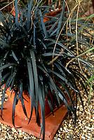 Ophiopogon planiscapus 'Nigrescens' (black Mondo grass)  ornamental grass with dark leaves in container pot planter, aka Ophiopogon planiscapus nigrens