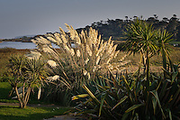 Pampas Grass and New Zealand cabbage palm (Cordyline australis) growing on the island of Tresco, Isles of Scilly, Cornwall, UK.  12/10/2008