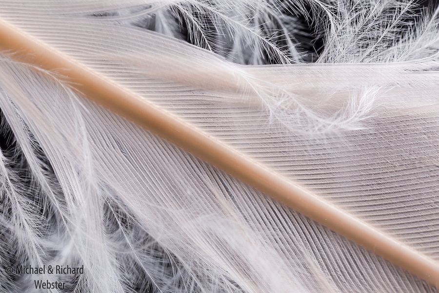 Andean flamingo feather.