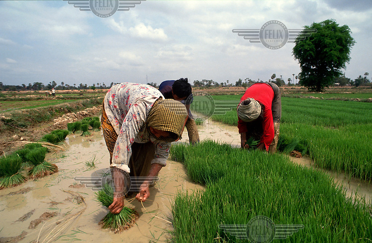 Peasants collecting rice shoots to then be transplanted, part of the labour intensive process of rice production.