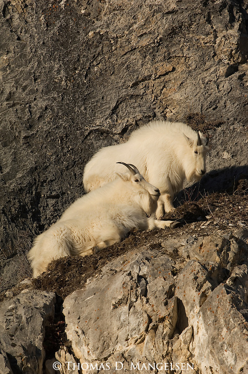 Two mountain goats rest on cliffs in Snake River Canyon, Wyoming.