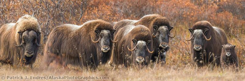 Panorama of a herd of Muskox on the autumn tundra on the Seward Peninsula, Alaska.