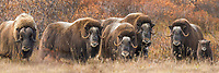 Panorama of a herd of Muskox on the autumn tundra on the Seward Peninsula, Alaska.