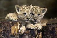 Lion cubs in Russia 021218
