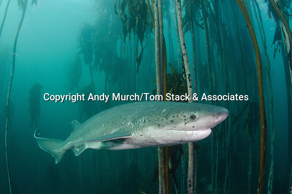 Broadnose Sevengill Shark, Notorynchus cepedianus, Millers Point, Simon's Town, Cape Province, South Africa.