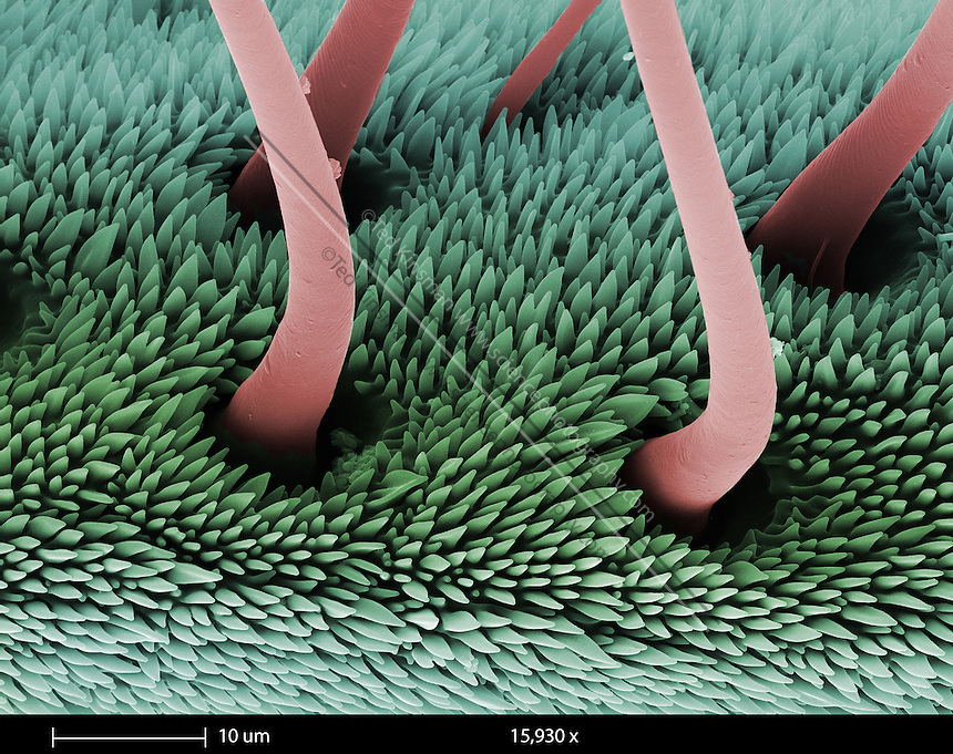 SEM of the antenna of the Luna Moth (Actias luna).  This male antenna is one of the most sensitive chemical detectors known in the insect world.  The male can detect a female from several kilometers away.  The calibration bar is 10 um and was taken at 15,930 x..