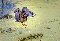 Green Heron landing in duckweed covered pond