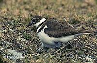 1K04-001z  Killdeer - adult sitting on eggs - Charadrius vociferus
