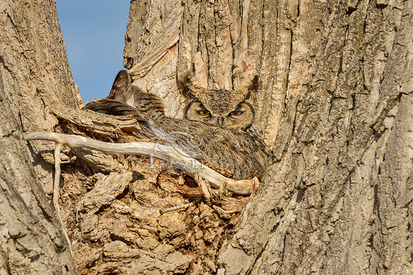 Great Horned Owl (Bubo virginianus) on nest.  Oregon, spring.