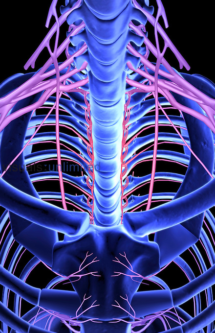 A superior, anterior view of the nerves of the brachial plexus relative to the skeleton. Royalty Free