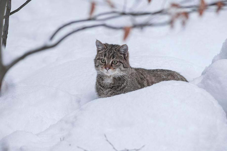 Wilde kat (Felis sylvestris) in de sneeuw