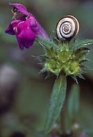 Smalle raai (Galeopsis angustifolia)