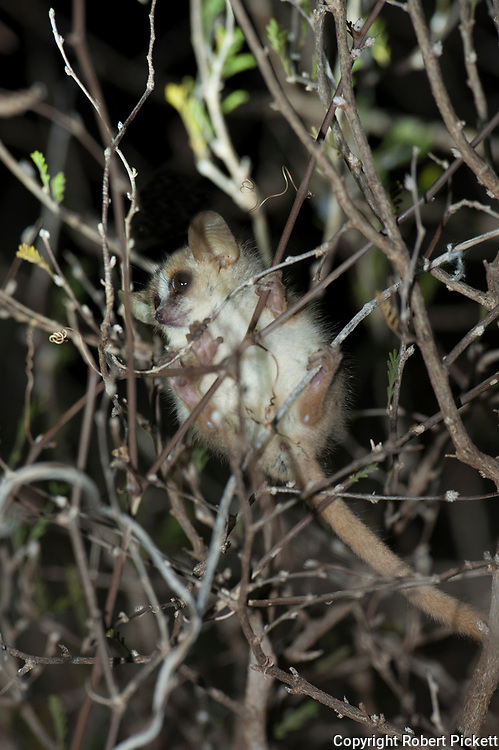 Grey-brown mouse lemur, Microcebus griseorufus at night, nocturnal species, Berenty National Park, Madagascar, Least Concern (LC) on the IUCN Red List, very small, one of the smallest lemurs