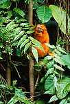 The golden lion tamarin, being rescued by an international breeding and reintroduction program, inhabits small areas of the almost totally destroyed rainforests of Atlantic coastal Brazil.