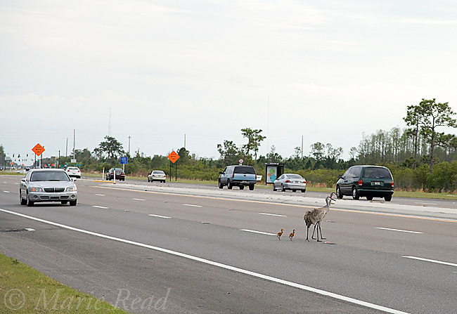 Sandhill Cranes (Grus canadensis) (Florida race), pair with two small chicks trying to cross busy highway, Kissimmee, Florida, USA
