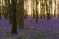 WEATHER PICTURE<br /> Sunset falls on Dockey Wood on the Ashridge Estate, Hertfordshire, UK. Work is being undertaken to protect the bluebells and encourage visitors to stay on the marked footpaths.