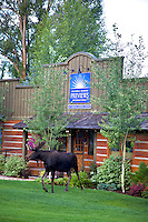Bull moose, in town, Jackson Hole, Wyoming