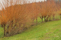 Basket willow (Salix viminalis), hedge in autumn, Zug, Switzerland, Europe