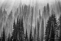 Forest and Fog, Mount Rainier National Park, Washington