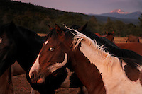 Wild blue-eyed paint in mustang herd in northern California.<br />