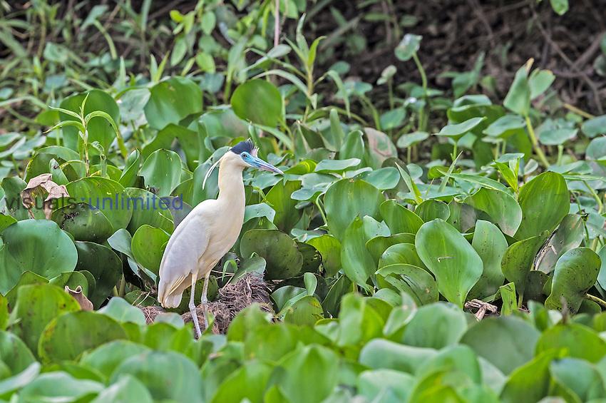 Capped Heron (Pilherodius pileatus), Pantanal, Brazil.