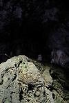 Whip Scorpion (Phrynicus heurtaultae) in a cave, Socotra, Yemen.