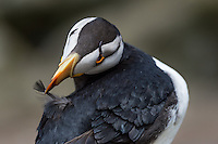 Horned puffin (Fratercula corniculata) preening. North Pacific.