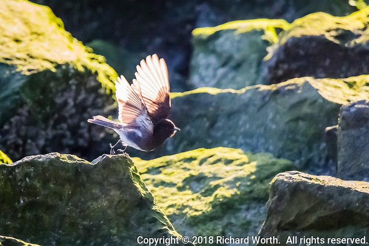 The transluscent backlit wings of a Black Phoebe, flitting from rock to moss-covered rock along the rocky shoreline at the San Leandro Marina Park, along San Francisco Bay.
