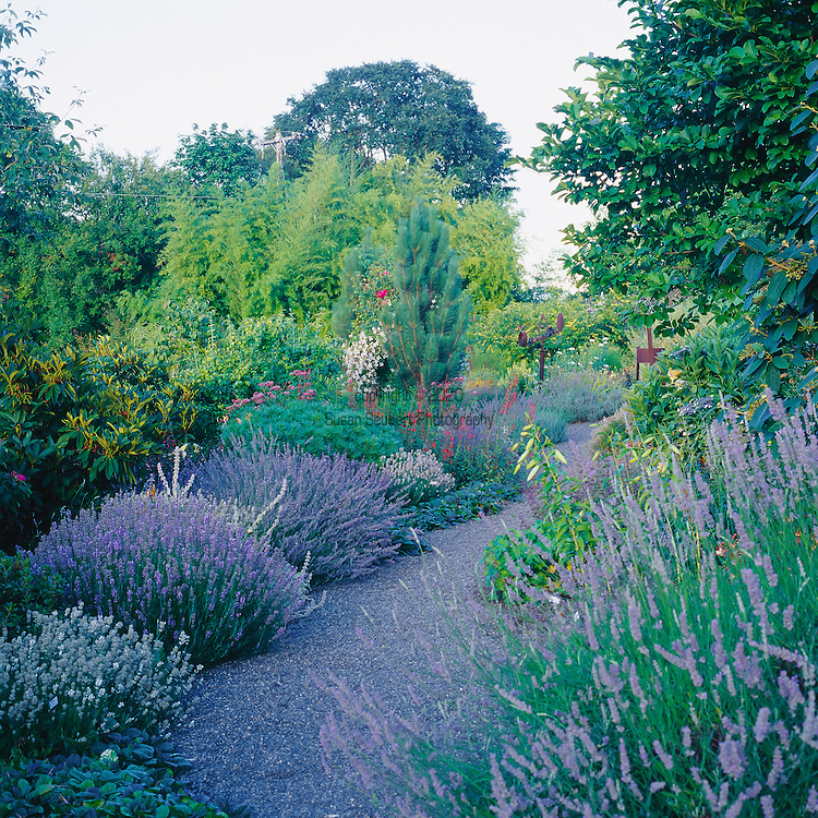 A garden path lined with lavender plants. Lavender is a small aromatic evergreen shrub of the mint family, with narrow leaves and bluish-purple flowers. Lavender has been widely used in perfumery and medicine since ancient times.