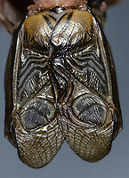 Feldgrille, Flügel, Feld-Grille, Grille, Gryllus campestris, field cricket, Grille, Grillen, Gryllidae, Cricket, Crickets