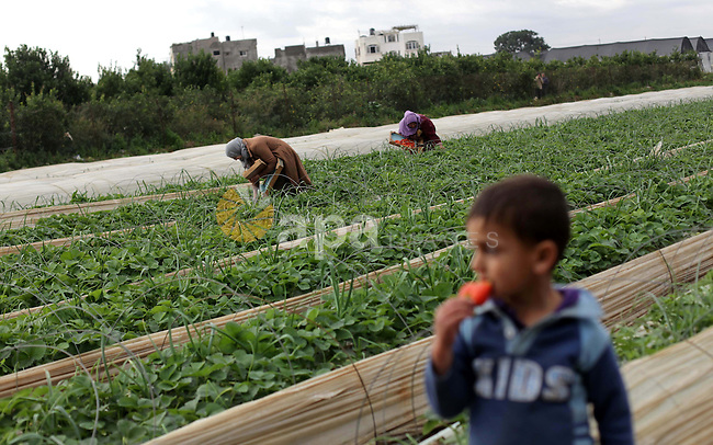 A Palestinian boy eats strawberry as women harvest strawberries from a field in Beit Lahia, in the northern Gaza Strip, on December 10, 2013. Some 250 acres of strawberry crop are cultivated in these fields yielding some 2500 tons of fruit, some of which will be exported to European countries, helping the stagnant economy of the enclave. Photo by Ashraf Amra