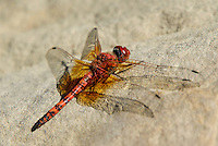 389190006 a wild male red rock skimmer dragonfly paltothemis lineatipes perches on a rock along piru creek at frenchmans flat los angeles county california