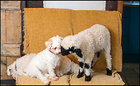 BNPS.co.uk (01202 558833)<br /> Pic: TomWren/BNPS<br /> <br /> Barry makes friends with Poppy.<br /> <br /> Top dog...<br /> <br /> Baaa-king mad?<br /> <br /> It's a dogs life for 'Barry the lamb' - The precious Valais Blacknose lamb is being hand reared by owner Emma Childs after being rejected by his mother.<br /> <br /> Emma took Barry the lamb into her home last month so she could bottle-feed him round the clock after his mum rejected him as a newborn.<br /> <br /> Barry, now four weeks old, is a valuable rare Valais Blacknose, a breed that was only introduced to the UK from the Swiss Alps in 2014.