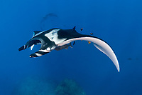 Giant Manta ray, manta birostris in San Benedicto Island Revillagigedo archipelago, Pacific ocean, Mexico