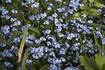 Myosotis sylvatica Forget-me-Nots blue flowers, Suffolk, England, UK