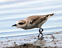 Snowy plover in aggressive posture in Sept