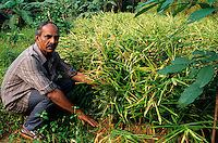 "Asien Indien IND .Ingwerwurzel in den Kardamom Bergen in Kerala - Landwirtschaft Landbau Anbau Plantage Ingwerpflanze Pflanze Pflanzen Strauch Ingwerstrauch Gew?rzanbau Gew?rzpflanzen Heilpflanzen Einkommen l?ndliche Entwicklung Farm scharf scharfes Gew?rz Gew?rze Kolonialwaren Feld Felder Ingwer Ingwerknolle Ginger xagndaz | .Asia India Kerala .ginger plant in Cardamom hills -  agriculture spicy spice spices crop farming estate plantation rural development field farm cultivation cultivate cash crop colonial goods root roots .| [copyright  (c) agenda / Joerg Boethling , Veroeffentlichung nur gegen Honorar und Belegexemplar an / royalties to: agenda  Rothestr. 66  D-22765 Hamburg  ph. ++49 40 391 907 14  e-mail: boethling@agenda-fototext.de  www.agenda-fototext.de  Bank: Hamburger Sparkasse BLZ 200 505 50 kto. 1281 120 178  IBAN: DE96 2005 0550 1281 1201 78 BIC: ""HASPDEHH""] [#0,26,121#]"