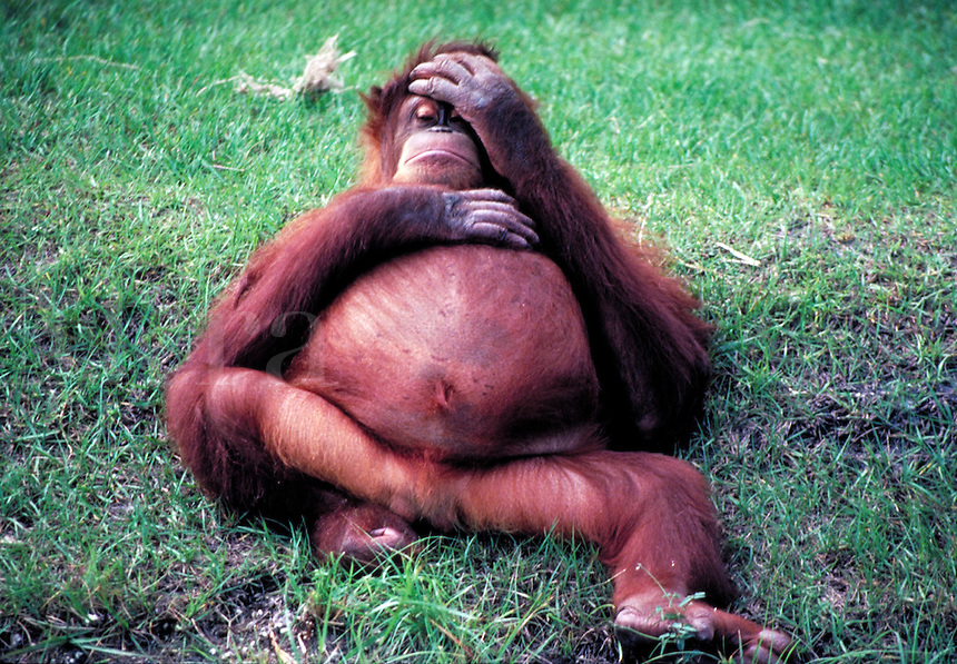 An orangutan relaxes, sprawled or sitting in a grassy field. Leisure. Orlando Florida.