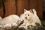 west highland white terrier - westi <br />