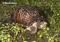 1003-0815  Male Eastern Box Turtle in Water with Watercress - Terrapene carolina © David Kuhn/Dwight Kuhn Photography