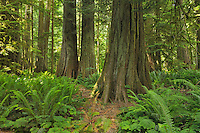 Old growth temperate rain forest in Cathedral Grove<br /> <br /> McMillan Provincial Park (Cathedral Grove)<br /> British Columbia<br /> Canada