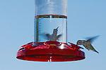 Anna's hummingbird, Calypte anna, at a backyard feeder in the Santa Cruz Mountains, California