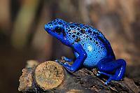 Blue poison dart frog (Dendrobatus tinctorius azureus), adult, South America