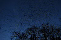 ALGEMEEN: HEERENVEEN: Spreeuwenplaag 26-03-2013, nabij de Heideburen, ©foto Martin de Jong